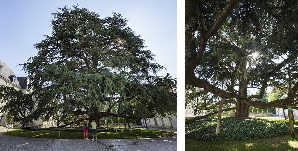 Cèdre planté au centre de la cours du Musée des Beaux-Arts de Tours - Un week-end nature en Touraine