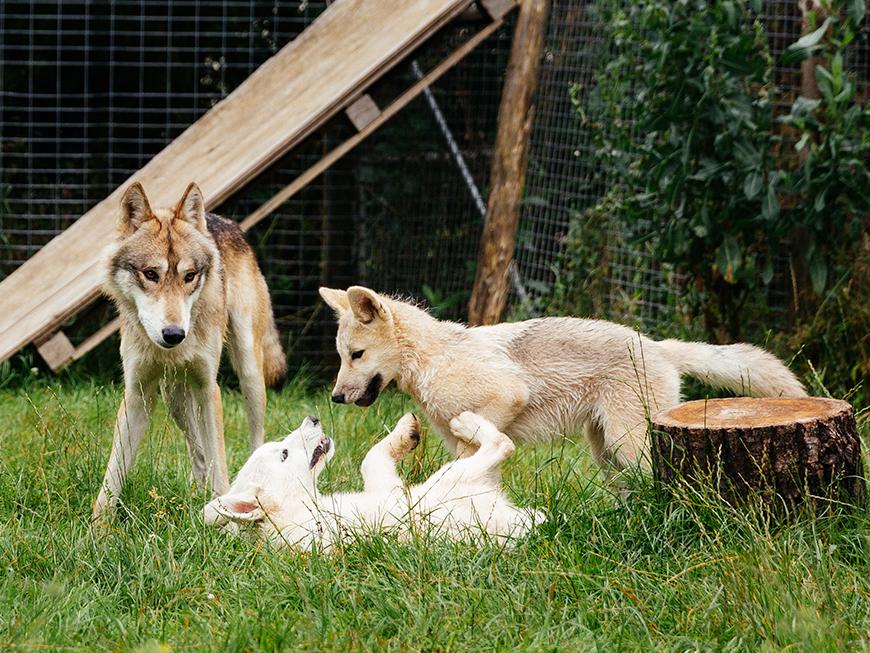 Tipis du Bonheur de vivre - Brûlon - Rencontre avec les loups